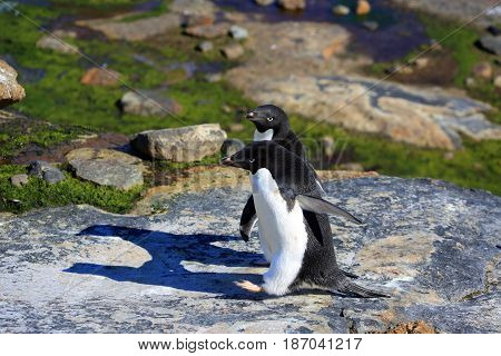 Young adelie penguins walking on stony ground. Overall plan.