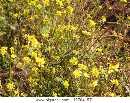 Countryside. Yellow flowers in the uncultivated soil.