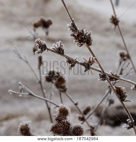 Winter frost on dry herbs. Frozen plants.
