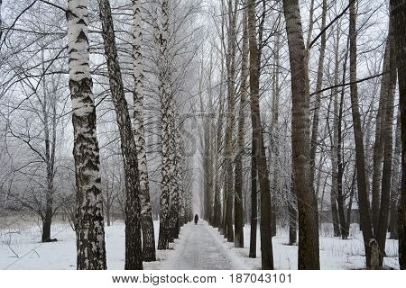 Beautiful winter alley with birchs and poplars.