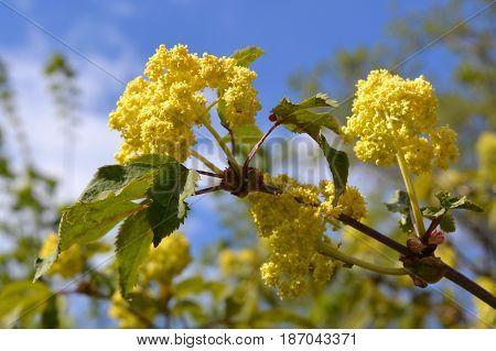 Elder or Elderberry (Sambucus nigra). Flowers and leaves against blue sky.