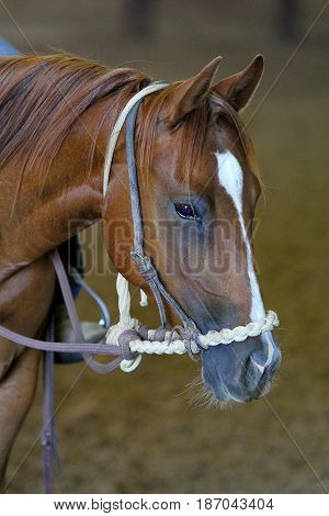 young two year old horse in a hackamore in training
