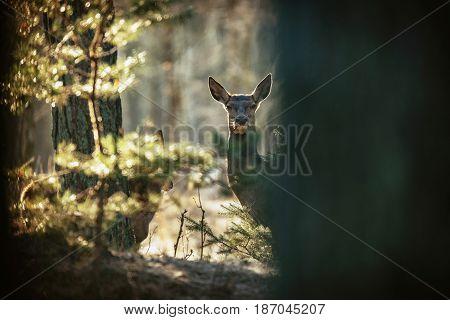 Curious Red Deer Hind Peeking From Behind Tree Trunk.