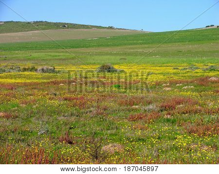 DARLING, CAPE TOWN, SOUTH AFRICA, OPEN FIELD WITH FLOWERS IN FORE GROUND AND GREEN HILLS IN BACK GROUND