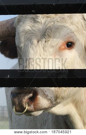 white longhorn bull with ring in his nose inside a fence