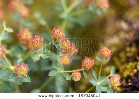 Flowers of Euphorbia fragifera a small Euphorbia of the Mediterranean region.