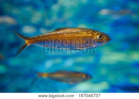 One small sea ocean yellow tropical fish in blue water colorful underwater world copyspace for text background wallpaper