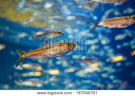 Shoal of red yellow tropical fishes in blue water colorful clear underwater world copyspace for text background wallpaper