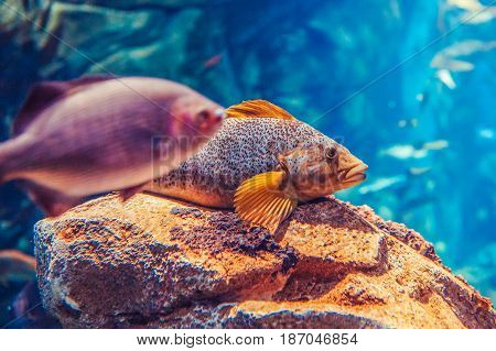 Two large big red yellow tropical fishes in blue water colorful underwater world copyspace for text background wallpaper