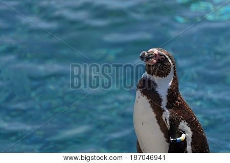 African penguin and a blue water background