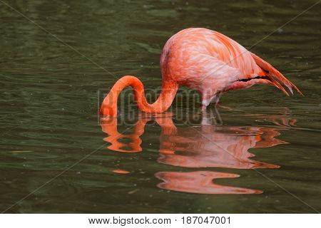 A caribbean Flamingo with the head in the waters