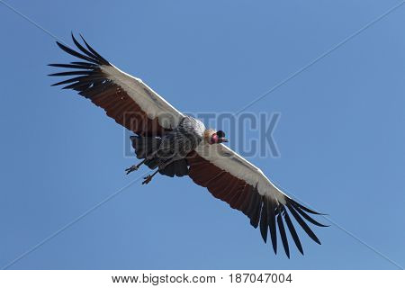 A common crane in flight on a blue sky background