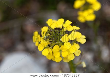 Makro photo of a smelly wallflower (Erysimum odoratum)