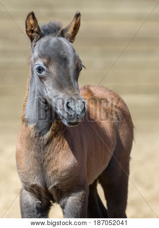 American miniature horse. Bay foal is one month of birth. Mare. Vertical close up portrain. Front view.