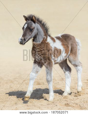 American miniature horse. Silver bay skewbald foal is one month of birth. Stallion.