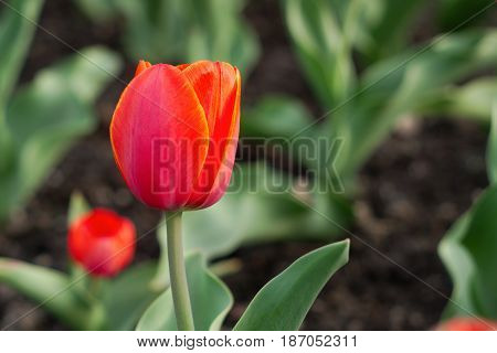 red tulip spring flower floral garden vivid color