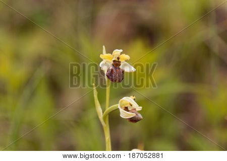 A flower of the wild orchid Ophrys araneola.