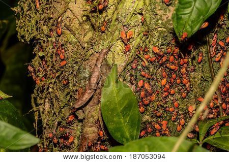 Cotton Stainer bugs feeding off a tree in the Rainforest in Costa Rica