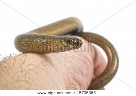 Slow Worm (anguis Fragilis) On A White Background
