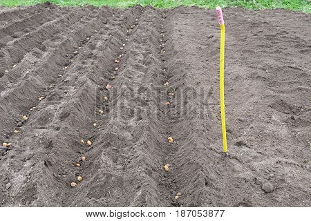 Dug Up A Field In Which To Plant The Potatoes And Rake The Soil Level In Rainy Weather