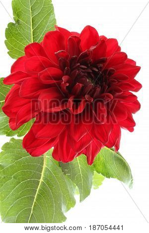 Claret red dahlia isolated on white background