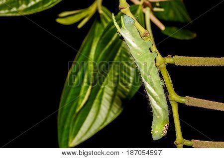 Five-spotted Hawk Moth Larva also known as Tomato Hornworm