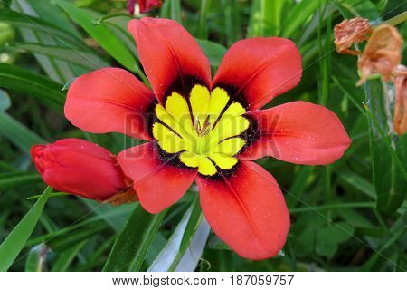 Wild Freesia Iridaceae flowers red orange black growing in field