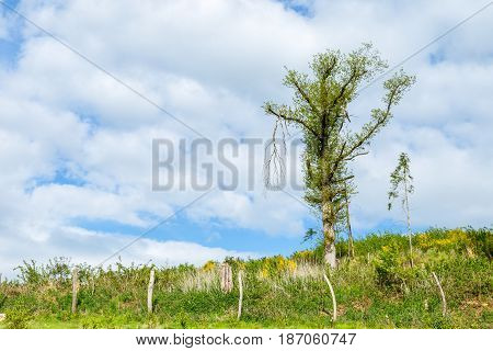 Big Tree Growing Leaves Again On Spring Recovering After The Winter On A Hill With A Fence And Cloud
