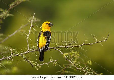 The Southern Yellow Grosbeak, bird of south America in Perto Lopez, Ecuador