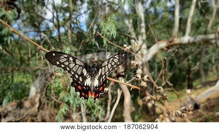 Beautiful butterfly resting on a gum tree Eucalyptus branch in an Australian park