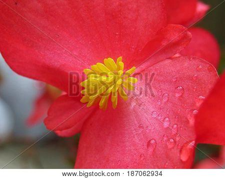 Close-up of red Begonia flower yellow stamen growing in garden