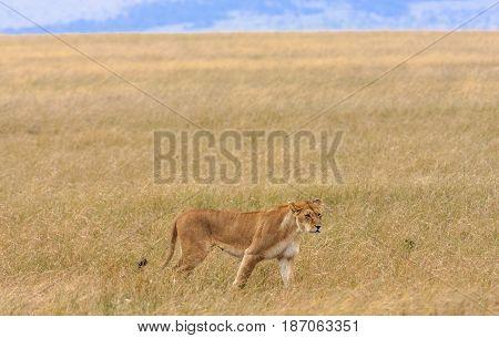 Lioness in the savannah of Masai Mara, Kenya
