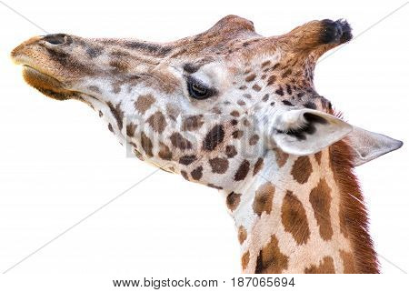 Giraffe tallest living terrestrial animals on white background
