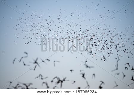 Bats Leaving A South Texas Cave