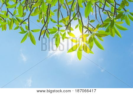 Branches of Plumeria (frangipani) tree on blue sky background .