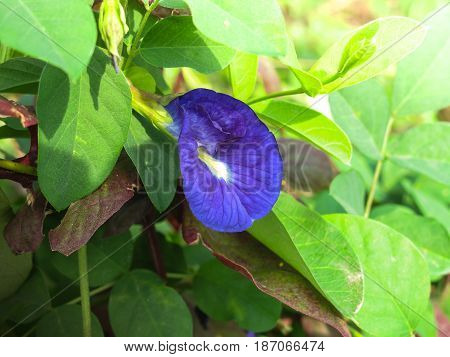 Butterfly pea, Asian Pigeonwings, Clitoria ternatea ,tropical vine, bluebellvine, blue pea, Fabaceae family, blue tea, cordofan pea, Darwin pea, natural fertilizer