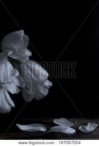 Romantic white tulip petals on black background