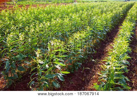 Green corn field More productively clutching nest in thailand. farm products Converter plant cultivation commercial kitchen garden.