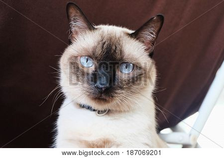 Cat looking at the camera. Siamese Cat.