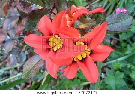 Wild Freesia Iridaceae flowers red orange black growing in field Field of Gold
