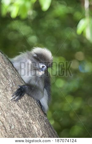 The dusky leaf monkey spectacled langur or spectacled leaf monkey (Trachypithecus obscurus)It is found in Malaysia Burma and Thailand
