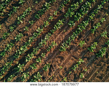 Aerial view of cultivated agricultural sugar beet field drone pov top view