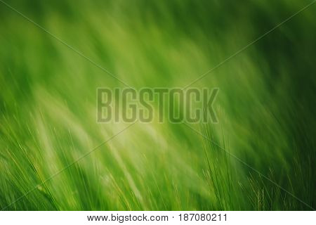 Green wheat in cultivated field as abstract agricultural background selective focus