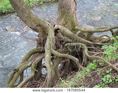 Hold tight - roots of tree above stream of water
