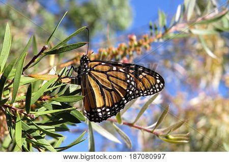 Beautiful butterfly resting on a gum tree Eucalyptus branch in an Australian park