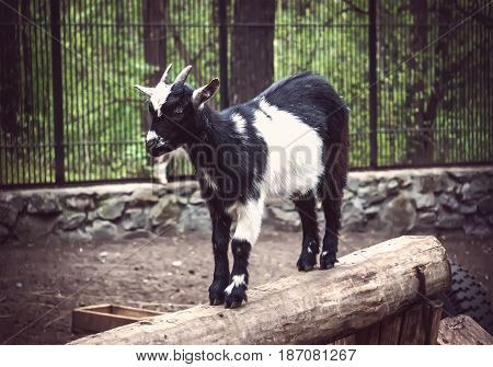 Brown Dwarf Goat Standing On The Ground