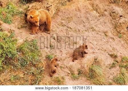 Brown she-bear with bear cubs. A she-bear and two bear cubs on a ravine slope. A from the soil with a stone with sites of a grass