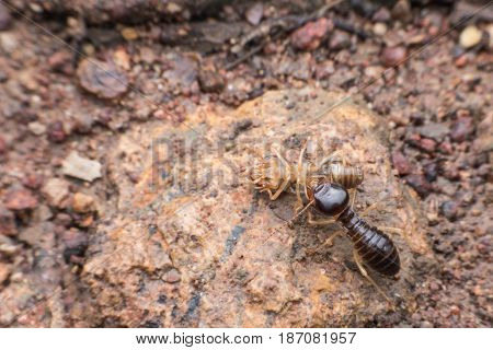 Termite carrying the death during moving territory
