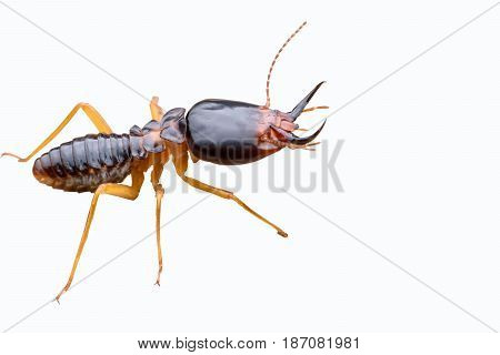 Super macro Termite isolated on white background