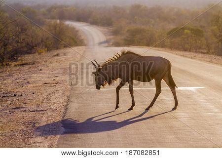 Blue wildebeest in Kruger national park, South Africa ; Specie Connochaetes taurinus family of bovidae